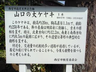 山口の大ケヤキ看板